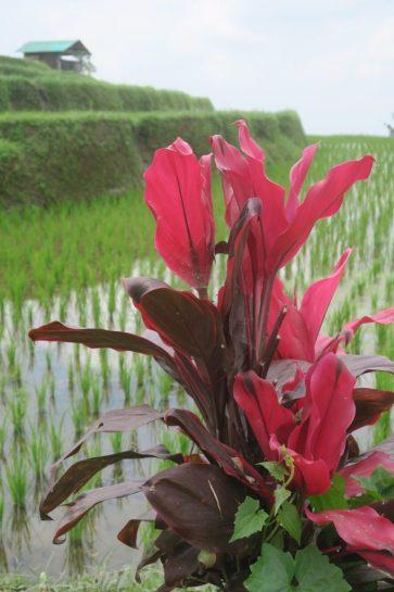 Une plante tropicale aux feuilles rouges devant une rizière, Jatiluwih
