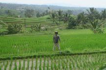 Un épouvantail, rizières de Jatiluwih