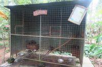 """Des """"luwak"""" (civettes) en cage dans une """"plantation"""" de café"""