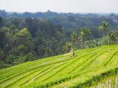 Un paysan et son chien, rizières de Jatiluwih