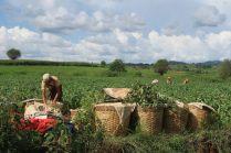 Cueillette dans les champs