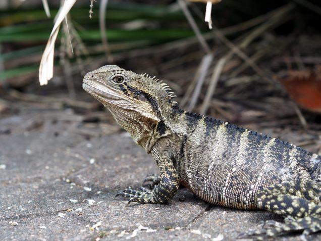 Un iguane dans un parc à Brisbane
