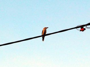Un Kookaburra, oiseau emblèmatique de l'australie, sur un fil électrique