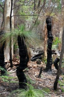 """Des """"grass trees"""" (Xanthorrhoea) dans le parc de Noosa"""