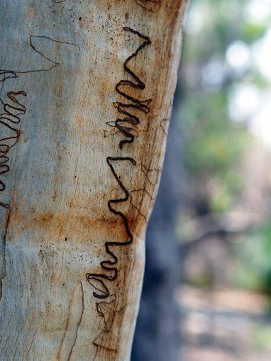 """Un Eucalyptus présentant des marques laissées par des larves de """"scribbly gum moth"""""""