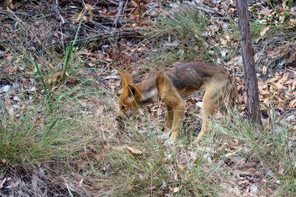 Un jeune dingo au bord de la route