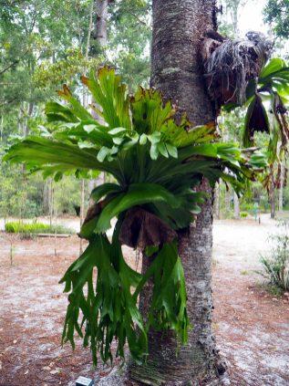 """Une plante """"décorative"""" que l'on peut """"accrocher"""" aux troncs d'arbres"""