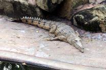 Un alligator étendu au soleil, immobile...