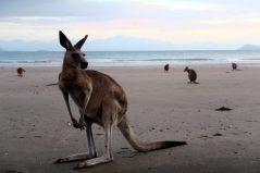 Les kangourous sont plutôt tranquilles, heureusement vu la taille des griffes sur les pattes avant...