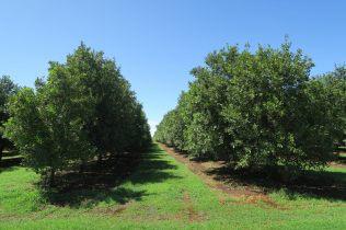 Plantations de noix de macadamia