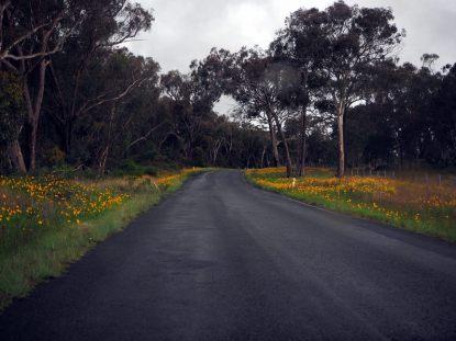 Magnifiques fleurs jaunes partout sur le bord de la route