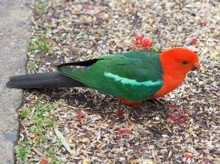 """Une Perruche royale (Alisterus scapularis) ou """"Australian Kings Parrot"""""""