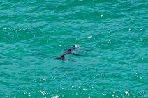 Des dauphins ! Vus depuis le phare Byron