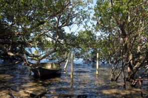 Une pseudo mangrove à Port Macquarie