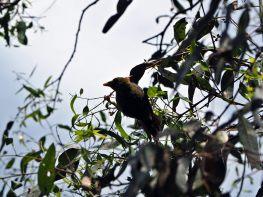 """Un """"bell miner"""" (Manorina melanophrys), en français Méliphage à sourcils noirs, qui a un cri très caractéristique (dans les jardins botaniques)"""