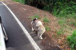 Sur la route, une maman koala porte son petit sur son dos et traverse la route !