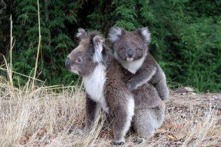 Sur la route, une maman koala porte son petit sur son dos... trop mignon !!