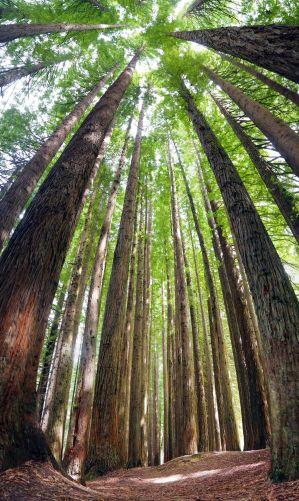 """Vue en grand angle des immenses arbres de la """"California Redwood plantation"""""""