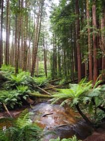 """California Redwood plantation"""