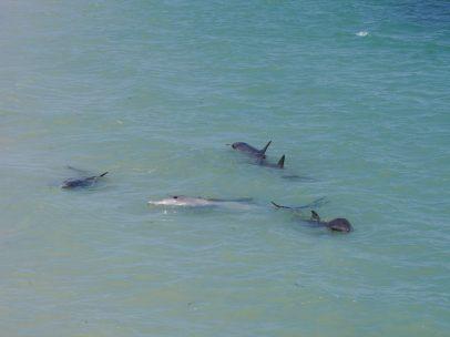 Groupe de dauphins