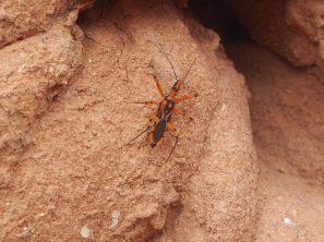 Un insecte non identifié sur une des termitière géante