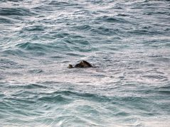 Tortues au bord de la plage, nous n'en voyions qu'une seule de loin, mais en zoomant, nous avons vu qu'elles etaient deux...