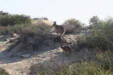 Kangourous à coté de South Mandu, Cape Range National Park