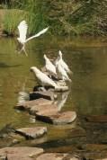 Perroquets à Fortrescue falls