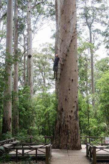 Julien à l'ascencion du Dave Evans Bicentennial Tree dans le Warren National Park
