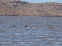 Des Grèbes huppé (crested grebe) sur le lac Forsyth