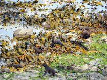 Les otaries adorent rester dans les algues. Difficile alors de les repérer !