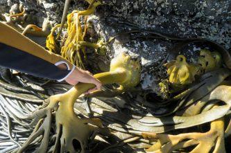 Une énorme algue attachée à la roche