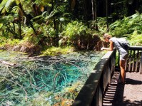 """Dans la grande forêt des """"redwoods"""" en dessous de Rotorua"""