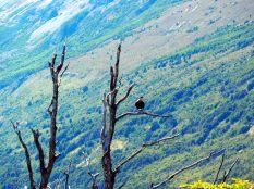 Un caracara perché sur une branche, glacier Perito Moreno