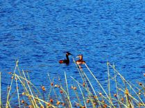 Grands grèbes (Podiceps major) sur le Lago Falkner