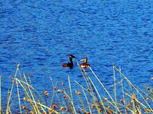 Grands grèbes (Podiceps major) sur le Lago Falkner