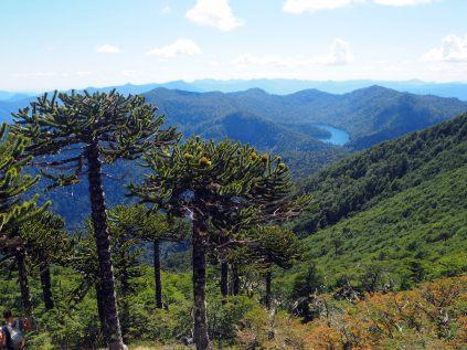 Araucarias au Cerro San Sebastian