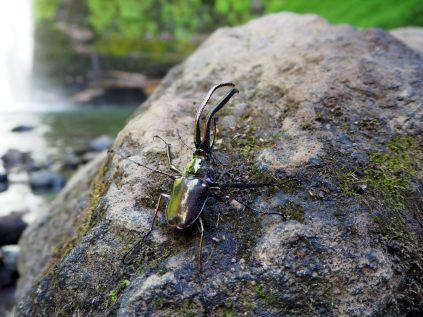 Chilean stag beetle (Chiasognathus grantii)