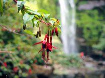 Fuchsia de Magellan (Fuchsia magellanica)