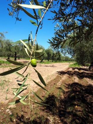 Les oliviers de Laur, Mendoza