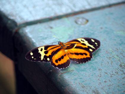 Papillion aux chutes d'Igazu