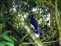 Un Geai acahé (Cyanocorax chrysops), en anglais plush-crested jay