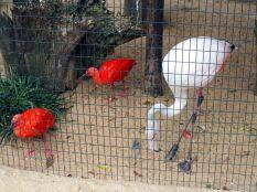 """Ibis rouges et flamant rose ((Phoenicopterus roseus), l'espèce la plus répandue de """"flamant rose"""" (le nom usuel)"""