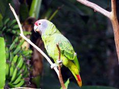 """Amazone à joues bleues (Amazona brasiliensis) au """"Parque das aves"""""""