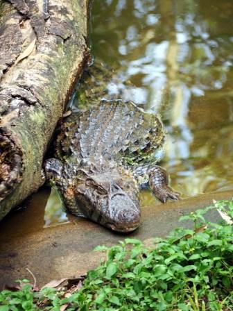 Un crocodile, aussi immobile que le tronc sous lequel il s'est tapi...
