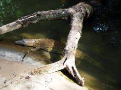 De loin, difficile de ne pas confondre ce crocodile avec un tronc sous l'eau