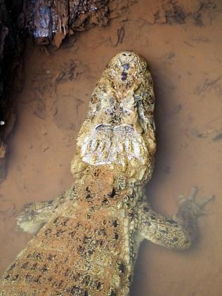 Un alligator sauvage aux chutes d'Iguazu
