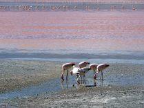 Flamant de James (Phoenicoparrus james) sur la Laguna colorada, Sud Lipez
