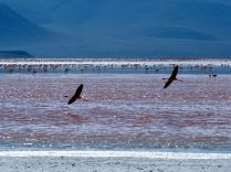Vol de flamants roses (Flamant de James - Phoenicoparrus james) sur la Laguna colorada, Sud Lipez