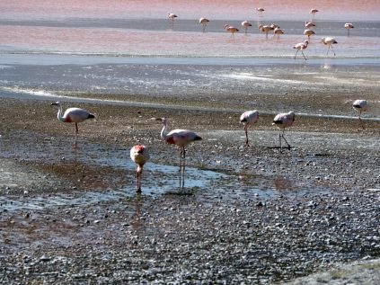 (Flamant de James (Phoenicoparrus james) sur la Laguna colorada, Sud Lipez